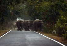hordes of elephants