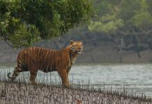 royal bengal tiger extinction